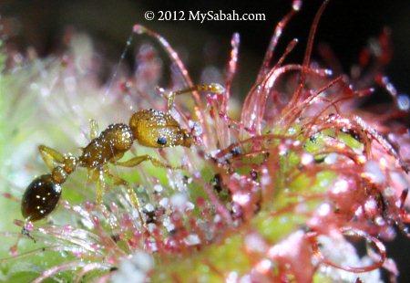 ant struggled in Sundew trap