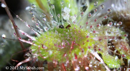 close-up of Drosera