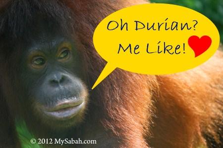 orangutan loves durian