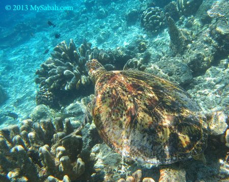 sea turtle of Sipadan
