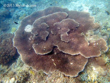 big fan coral