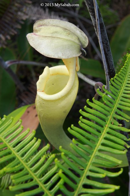 Nepenthes rafflesiania