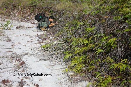 habitat of pitcher plant
