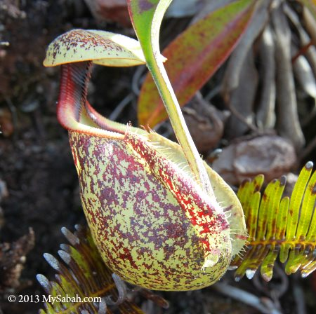 Nepenthes xhookeriana