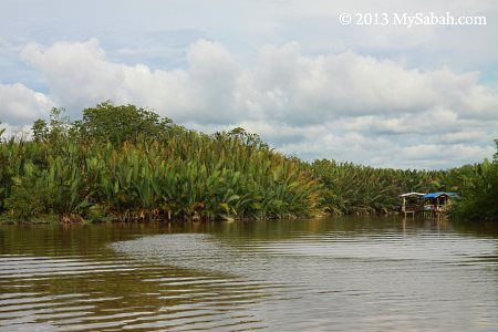 nypa swamp of Weston