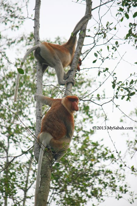male and female proboscis monkey