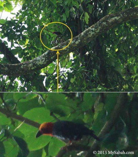 Borneo Bristlehead