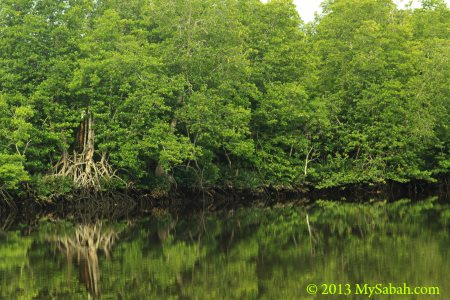 mangrove of Klias River
