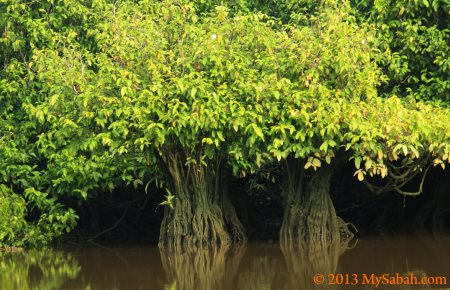 mangrove trees in river