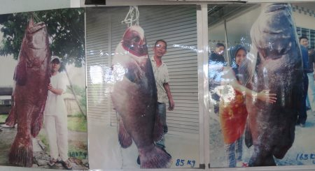 photos of giant grouper