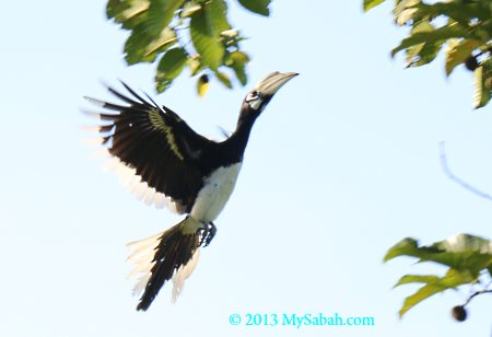 oriental-pied hornbill in flight