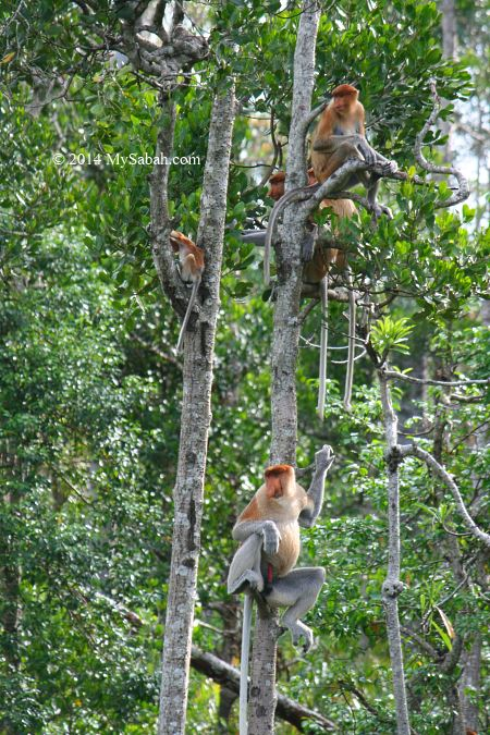 proboscis monkey family on mangrove tree