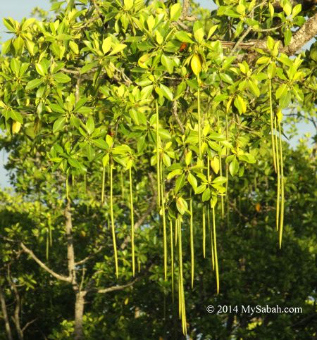 vivapary fruit of mangrove