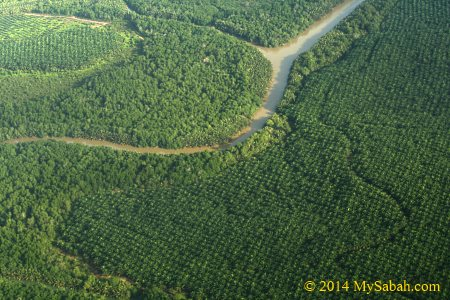 forest engulfed by oil palm