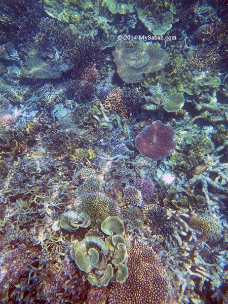 corals of Mengalum Island