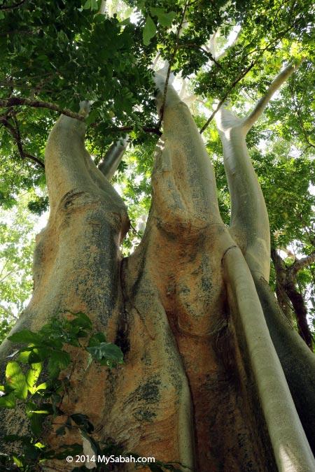 big tree in Tenom