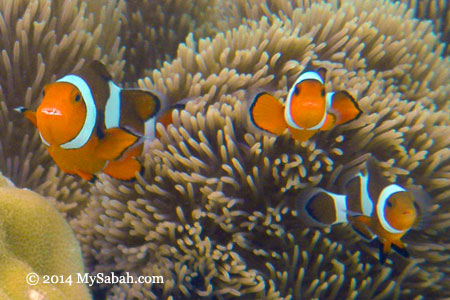 clownfish / anemone fish