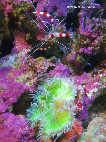 Banded Cleaner Shrimp and sea anemone