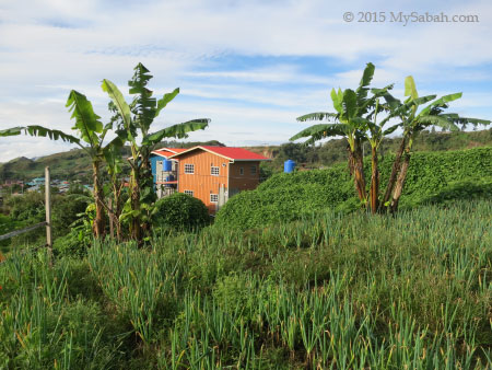 farm and banana trees