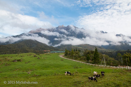 pasture of Desa Dairy Farm in Mesilau under Mt. Kinabalu