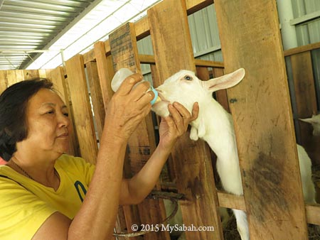 bottle-feeding young dairy goats