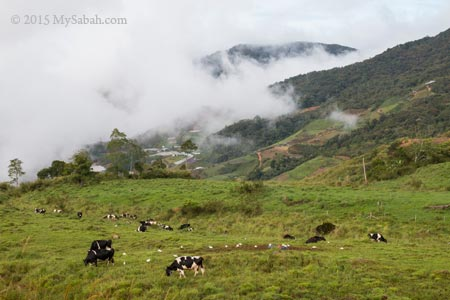 cows grazing in pasture of Desa Dairy Farm
