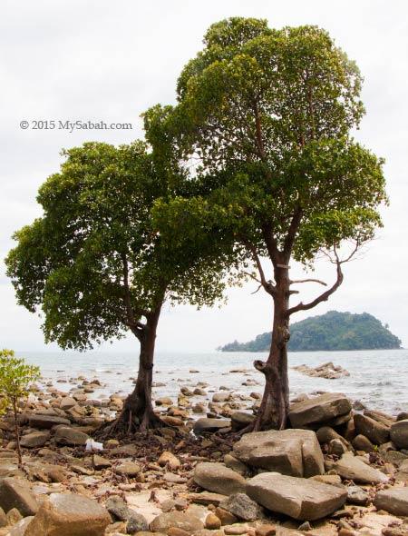 rare mangrove tree Bruguiera hainesii