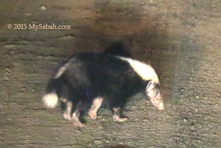Malay badger