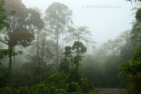 misty forest of Deramakot