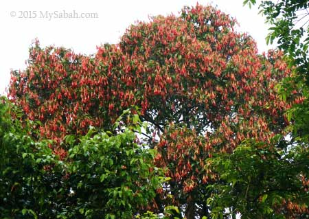 flowering dipterocarp tree
