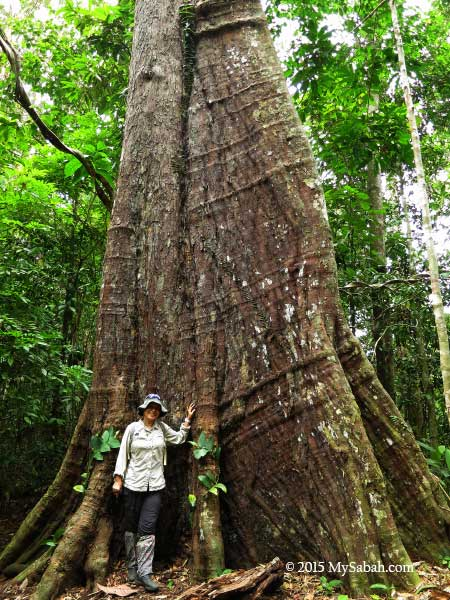 big tree in Deramakot forest