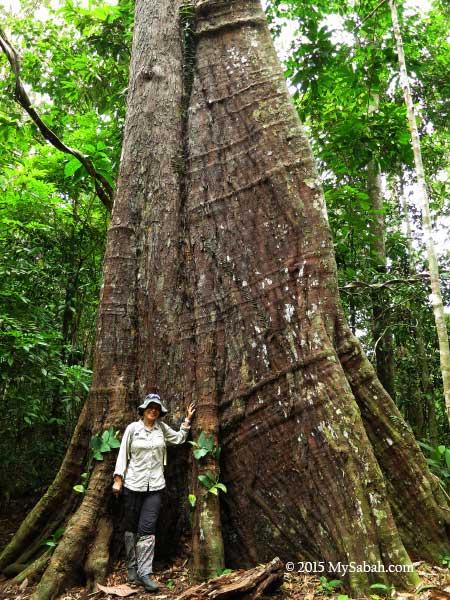 big tree in Deramakot forest