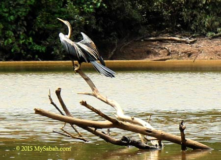 oreintal darter (snake bird)