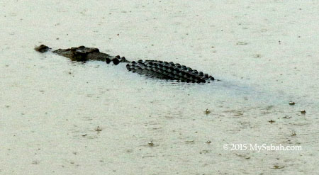 crocodile in oxbow lake