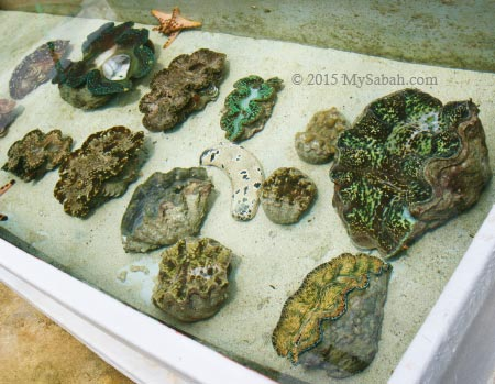 giant clam nursery