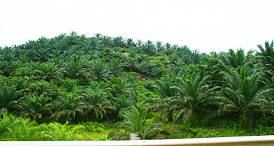 Oil Palm on hill