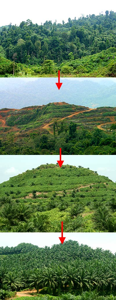 Hill and forest cutting for Oil Palm