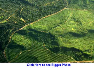 Oil palm on hills