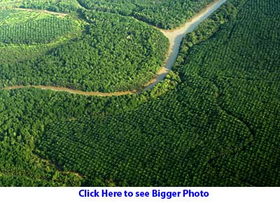 Oil palm engulf forest