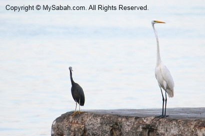 pacific and great egrets