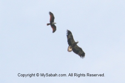 Brahminy Kite challenges bigger white-bellied sea eagle