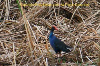 Black backed Swamphen