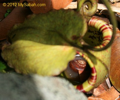 snail trapped in Nepenthes