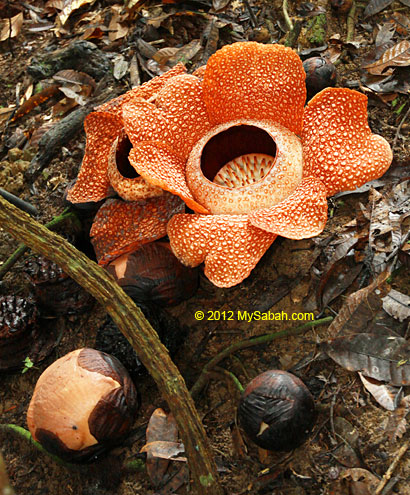 rafflesia and its buds