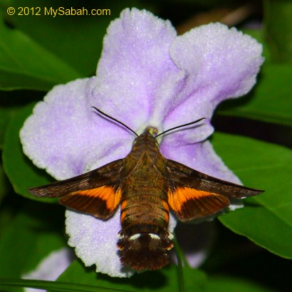 Hummingbird Hawk Moth collects nectar