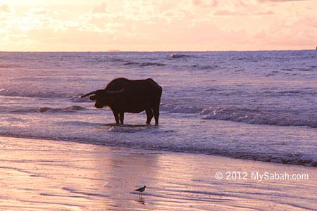 Old buffalo on the beach