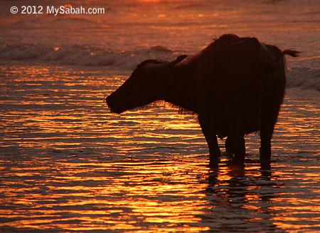 Old buffalo in the sea