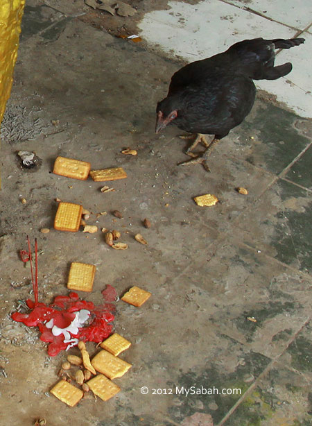 chicken eating offering