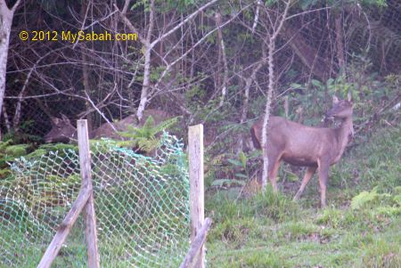 sambar deers in Tropical Garden