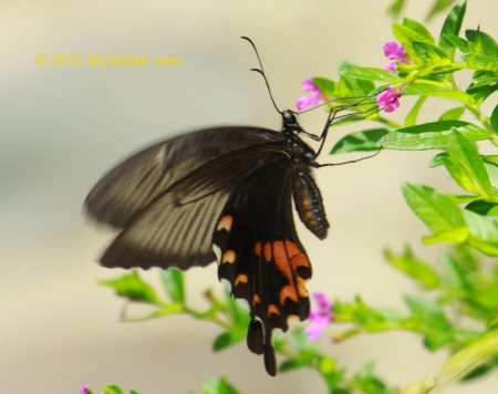 Bird-wing Butterfly